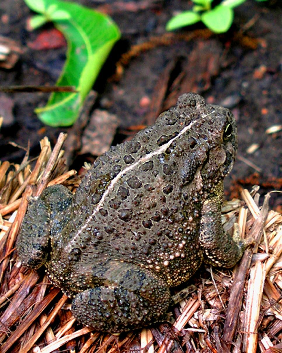 good reptiles and amphibians for the garden lizards