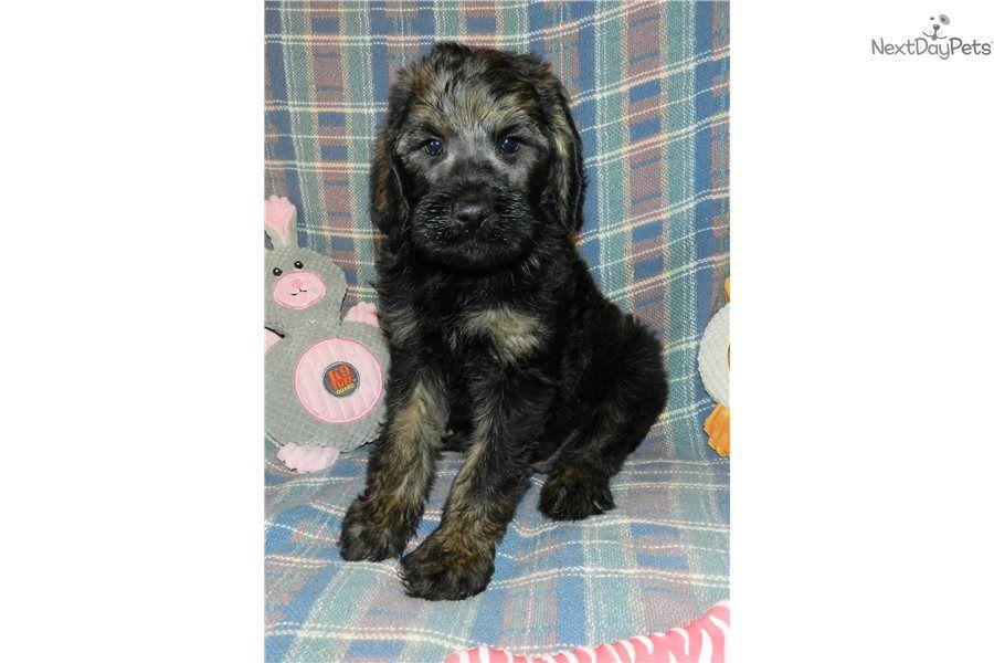 Hatch labradoodle puppy for sale near abilene texas
