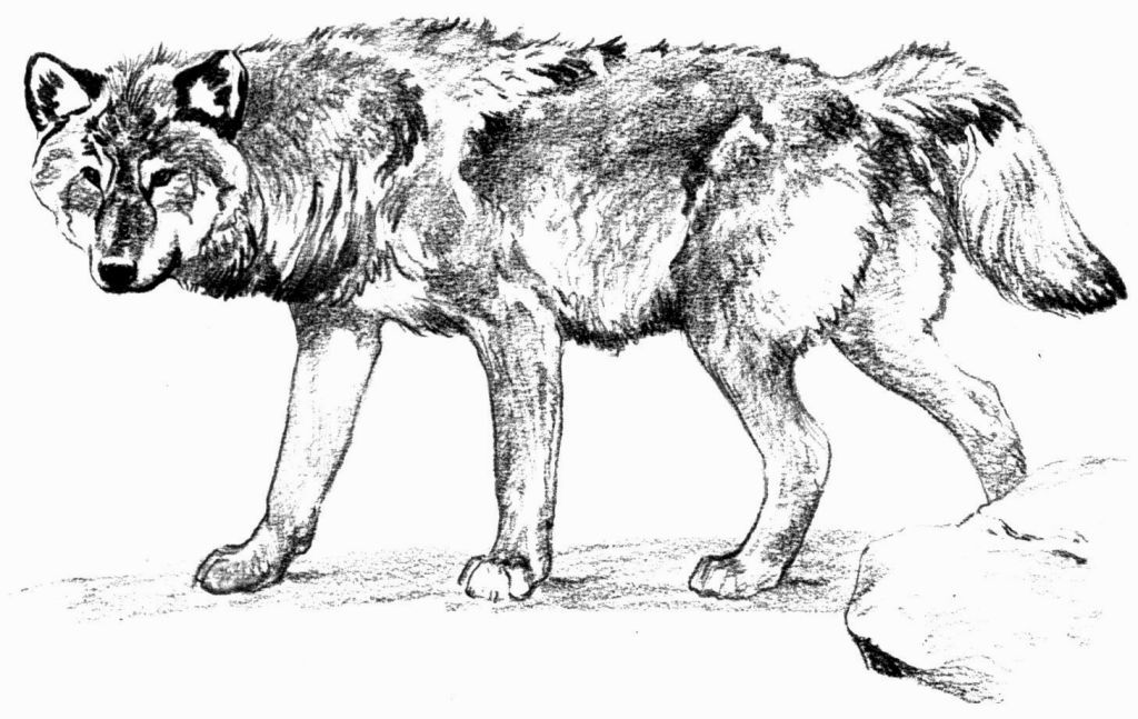 Grey Wolf Coloring Pages Adult Coloring Pages Horse Coloring