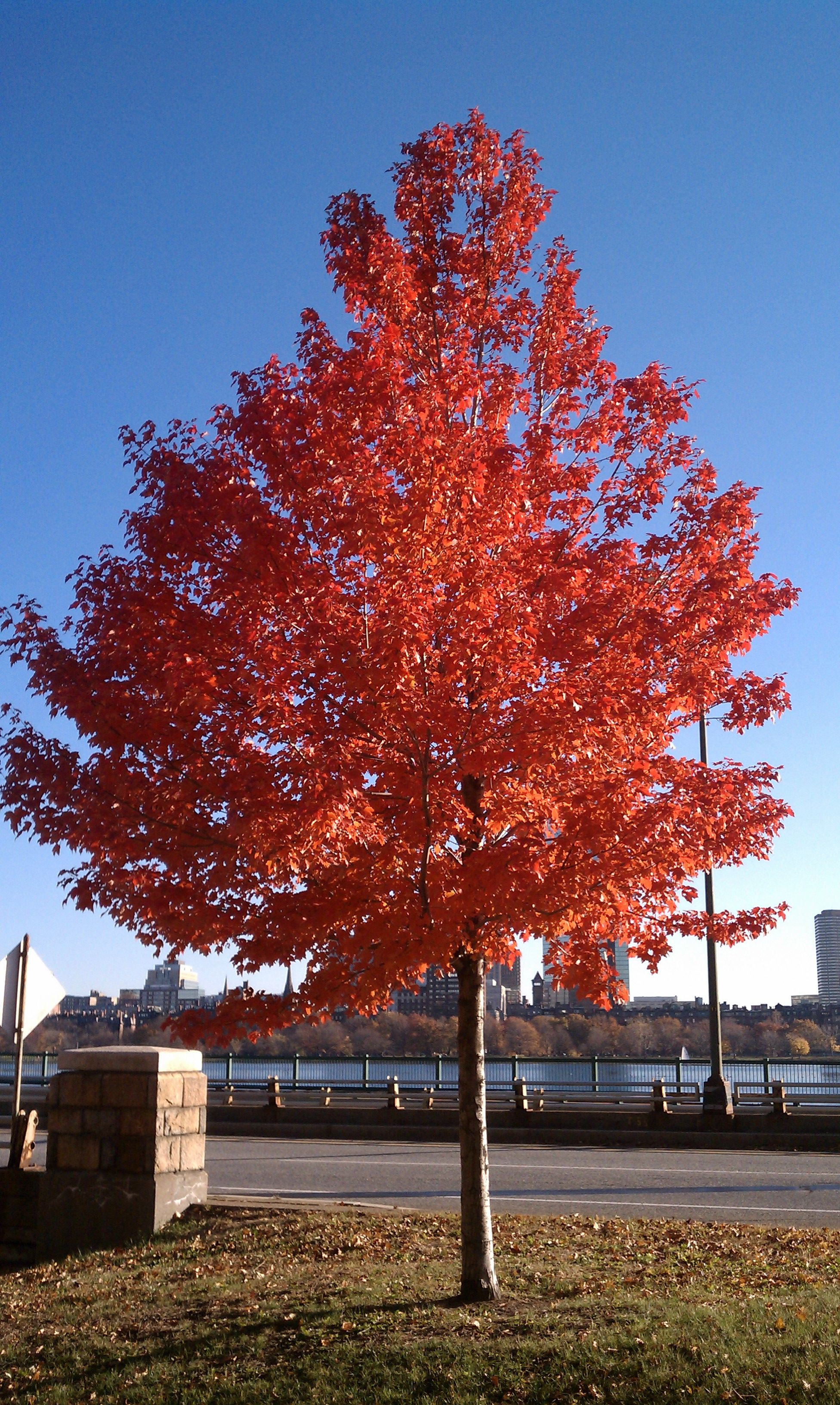 tree with red leaves year long landscaping ideas pinterest