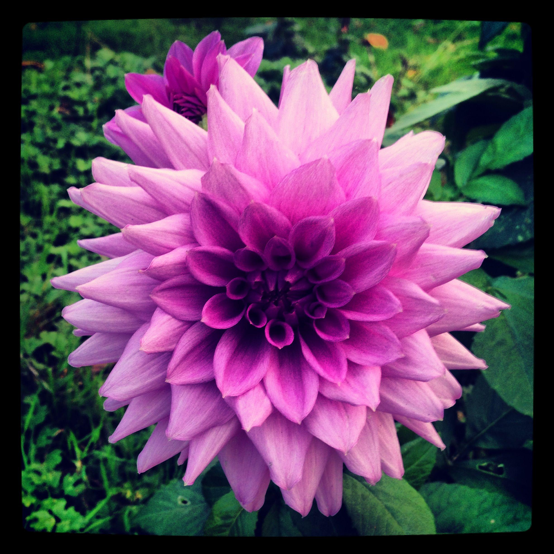 Beautiful purple Dahlia English country garden (With