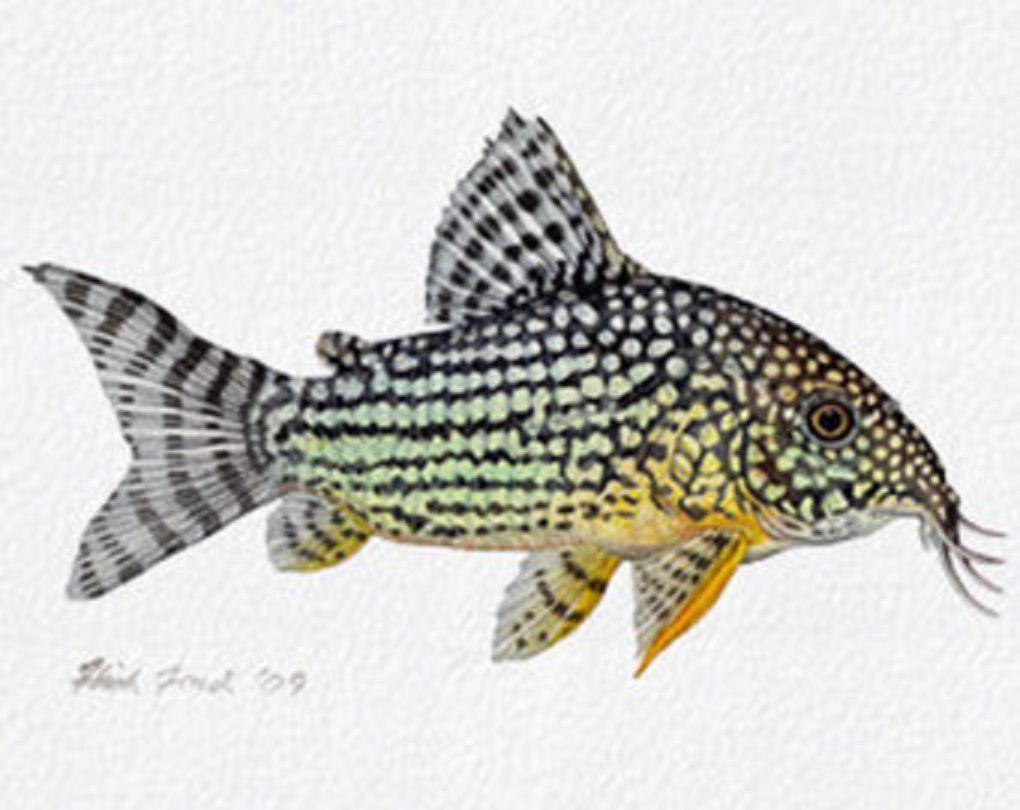 Freshwater aquarium fish have white spots - Art Illustration Lakes Freshwater Fish Sterba S Cory Corydoras Sterbai