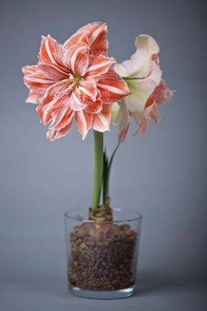 Die Amaryllis Kann Auch Ohne Erde Zum Blühen Gebracht Werden Dazu