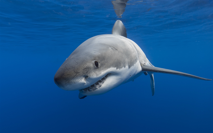 Download wallpapers Shark Predator White Shark Ocean