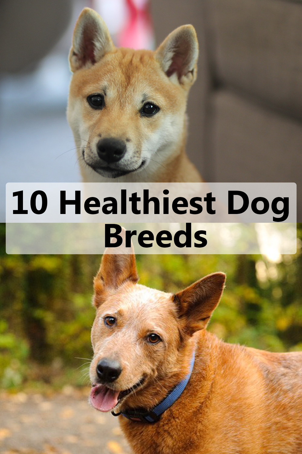 10 Healthiest Dog Breeds With Few Medical Issues