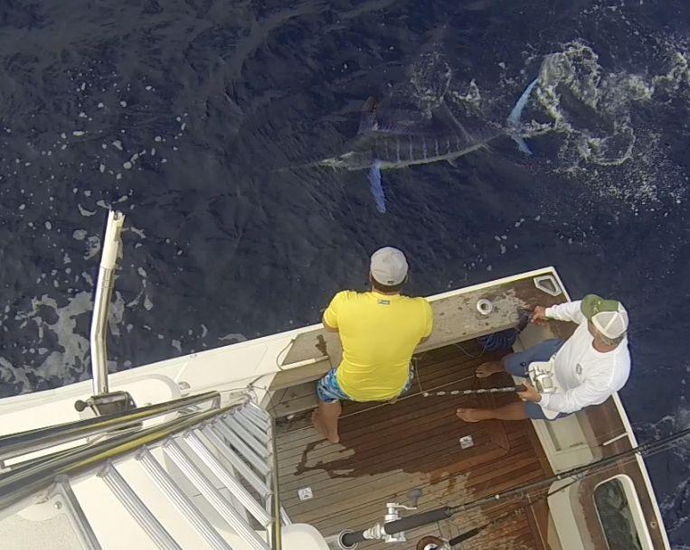 #marlin #caboyachts #kusleryachts #fishing team