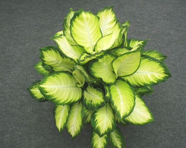 Zimmerpflanzen Dunkle Standorte zimmerpflanzen für dunkle standorte geeignet http cooledeko de
