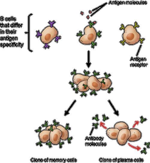 Biology The Immune System Shmoop Biology