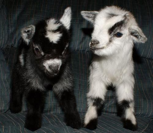 I Will Love Anyone Who Gives Me A Baby Goat For My Birthday Present