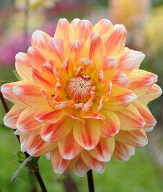 Dahlia Peaches & Cream