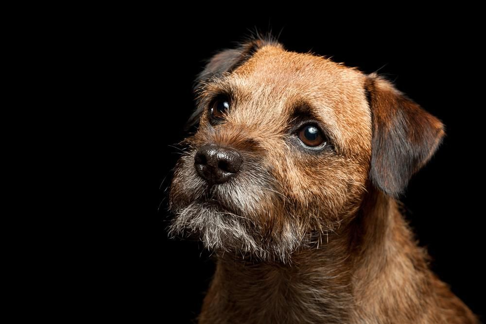 Lutra Ii By Wordup On Deviantart In 2020 Border Terrier Best
