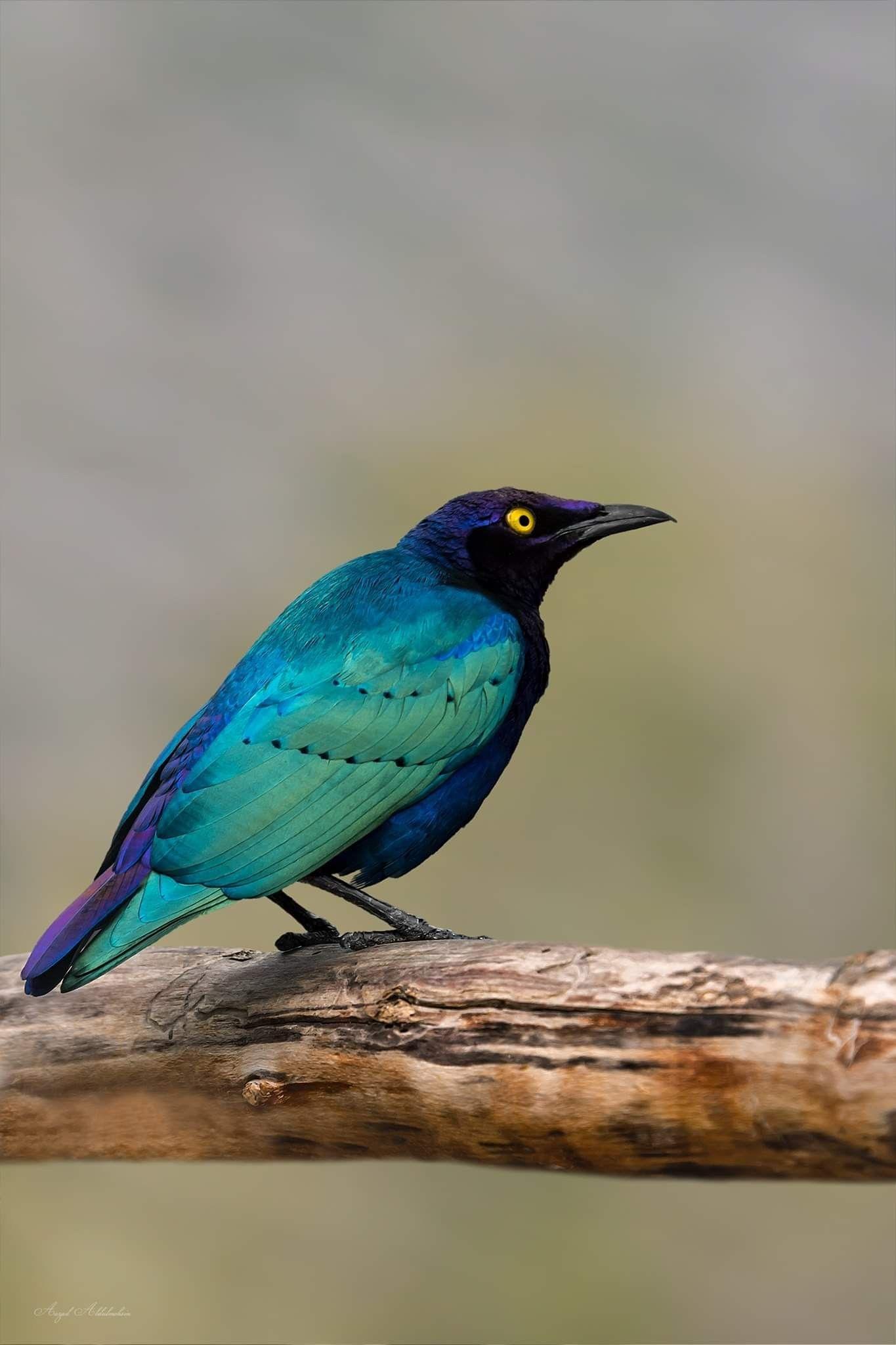 الزرزور الأفريقي Creature Bird Pictures Birds Creatures