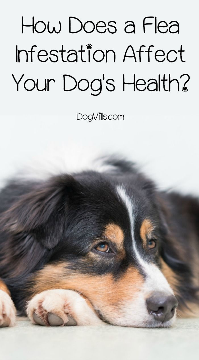 Flea Infestation Health Risks for Dogs Guide