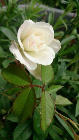 White Rose ورد أبيض