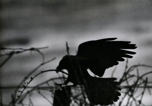 The Solitude of Ravens - Masahisa Fukase