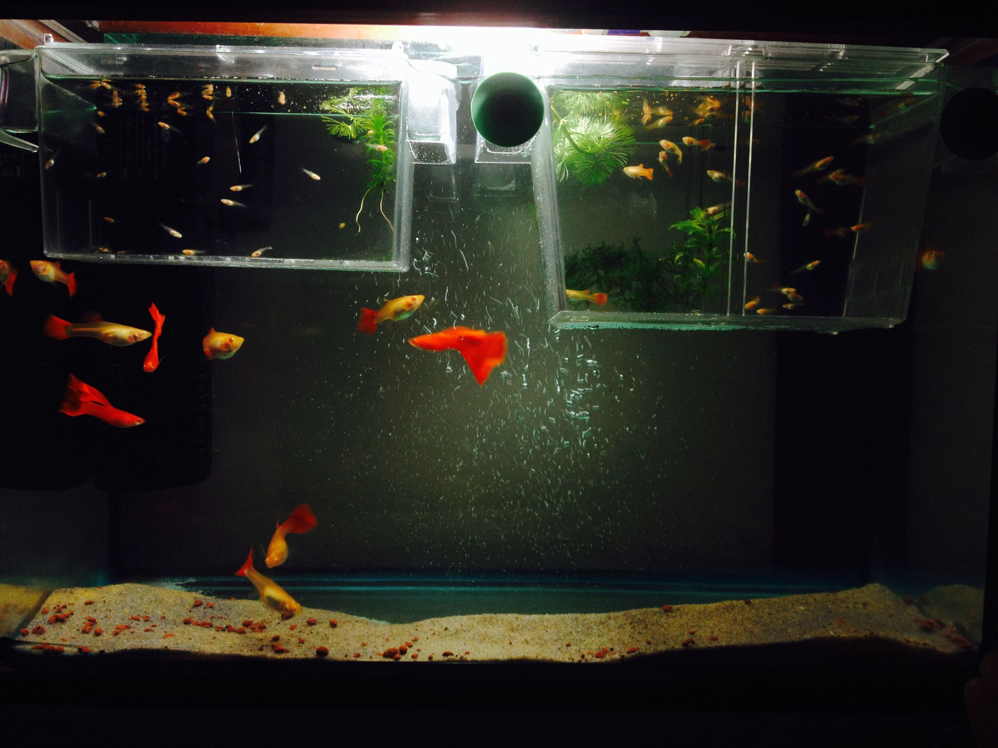 Guppy Fish Tank With Adults And Babies Oh How I Wish I Could Have Guppies Again Fish Tank Aquarium Fish Tropical Fish