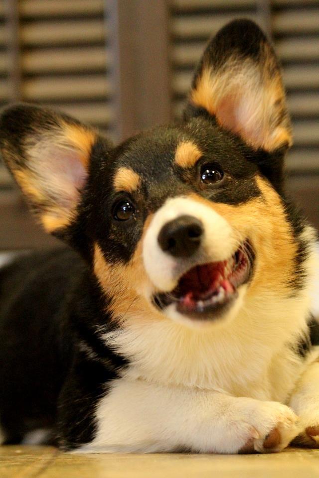 Smiling Tri Colored Corgi Corgi Corgi Dog Cute Corgi