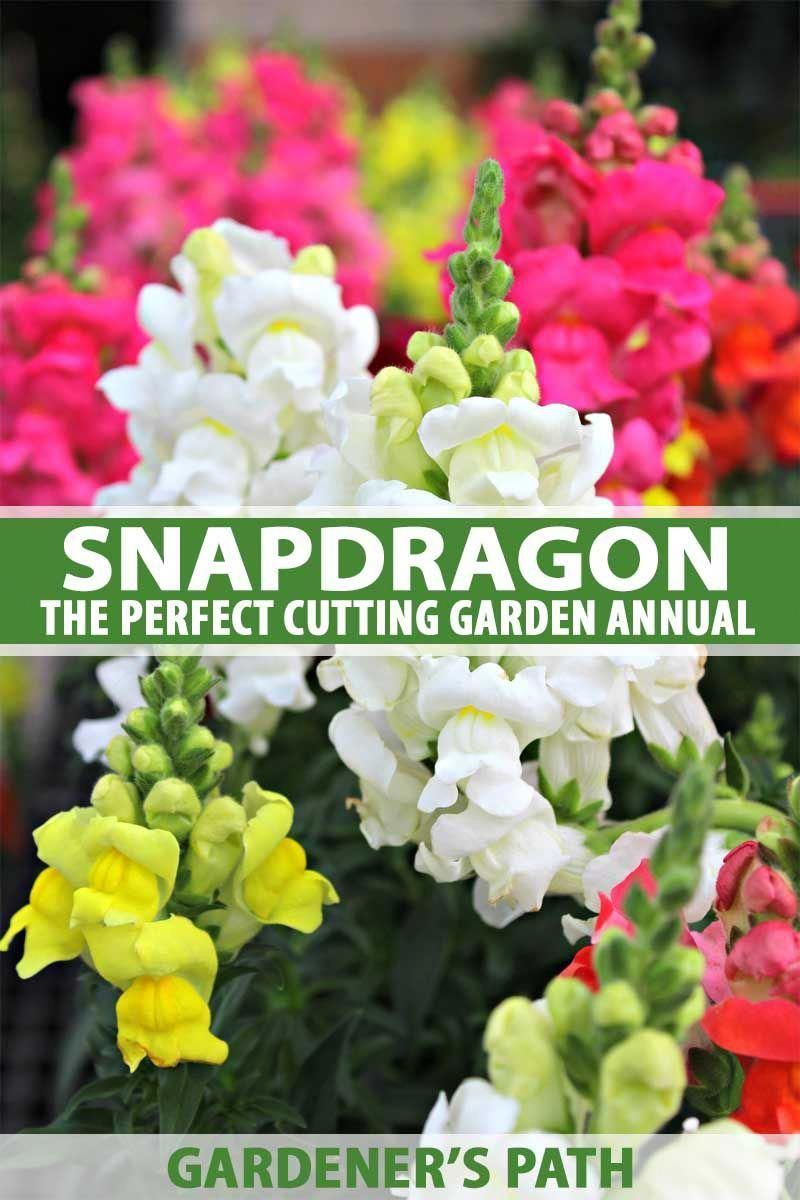Snapdragon is the perfect addition to cutting gardens. Spiky heads loaded with blossoms add height and structure to flower beds and floral arrangements. Did you know it blooms from the bottom up, for long vase life? Read all about this old-time favorite and its modern color palette, right here on Gardener's Path. #annuals #flowergarden #snapdragon #colorfulflowers #gardenerspath #flowergardening #oldpalletsforcrafting