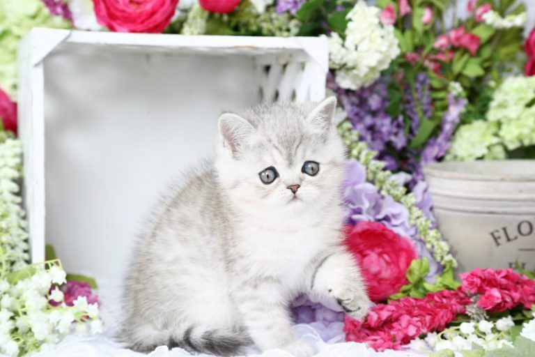 Exotic Shorthair Persian Kittens For Sale - Doll Face