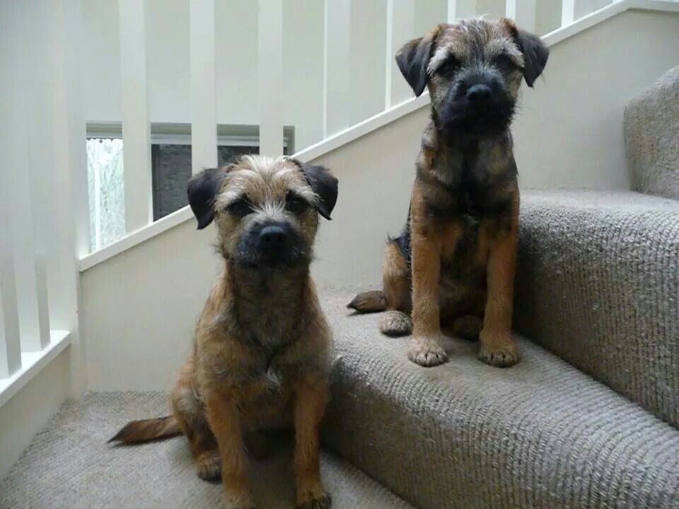 Annie And Izzy Border Terrier Terrier Dogs Patterdale Terrier