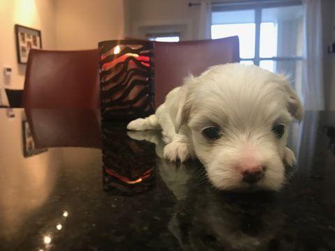 Litter Of 3 Maltese Puppies For Sale In Virginia Beach Va Adn