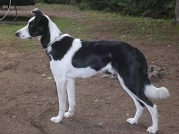 The Smooth Coated Border Collie Will Be Our Next Big Dog Once