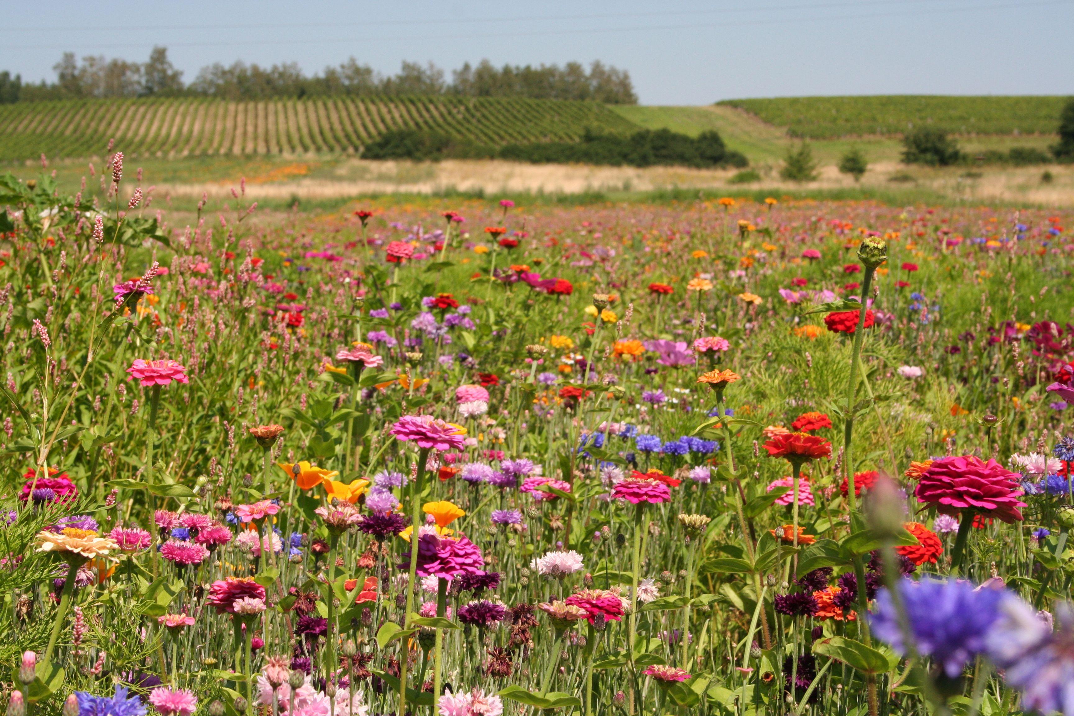 Summer Wild Flower Ideas Nonnative Wild Flower Meadow - Wild flower garden