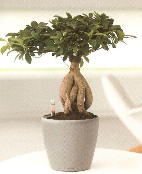 ginseng bonsai-ficus Dekoration-für Office Wohnzimmer ideen ...