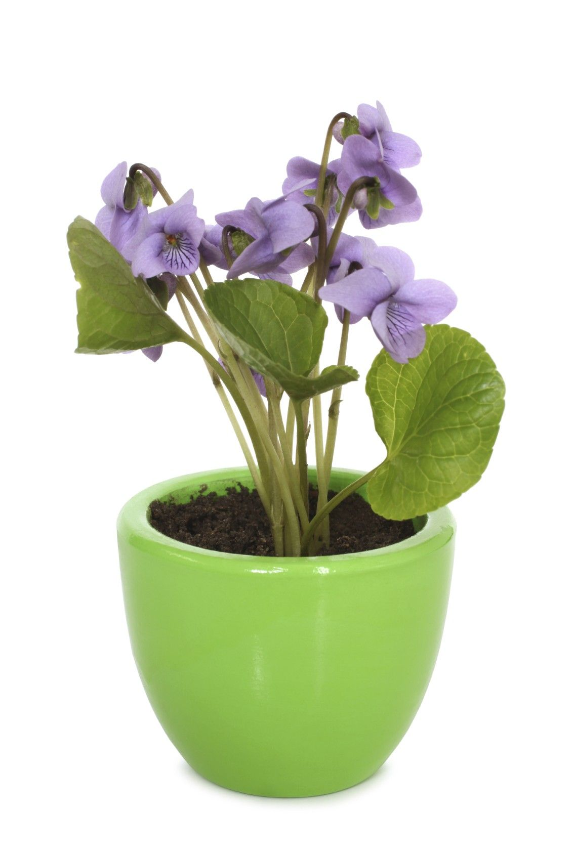 How to grow a violet 26