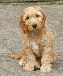 cockapoo picture Adult
