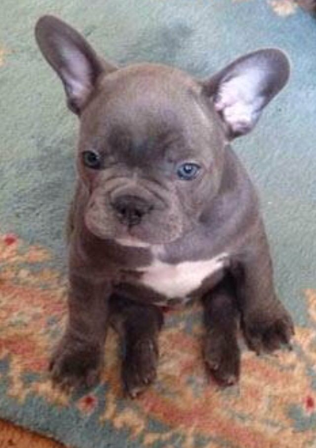 French Bulldog Puppy Looks So Much Like Stitch From Lilo And