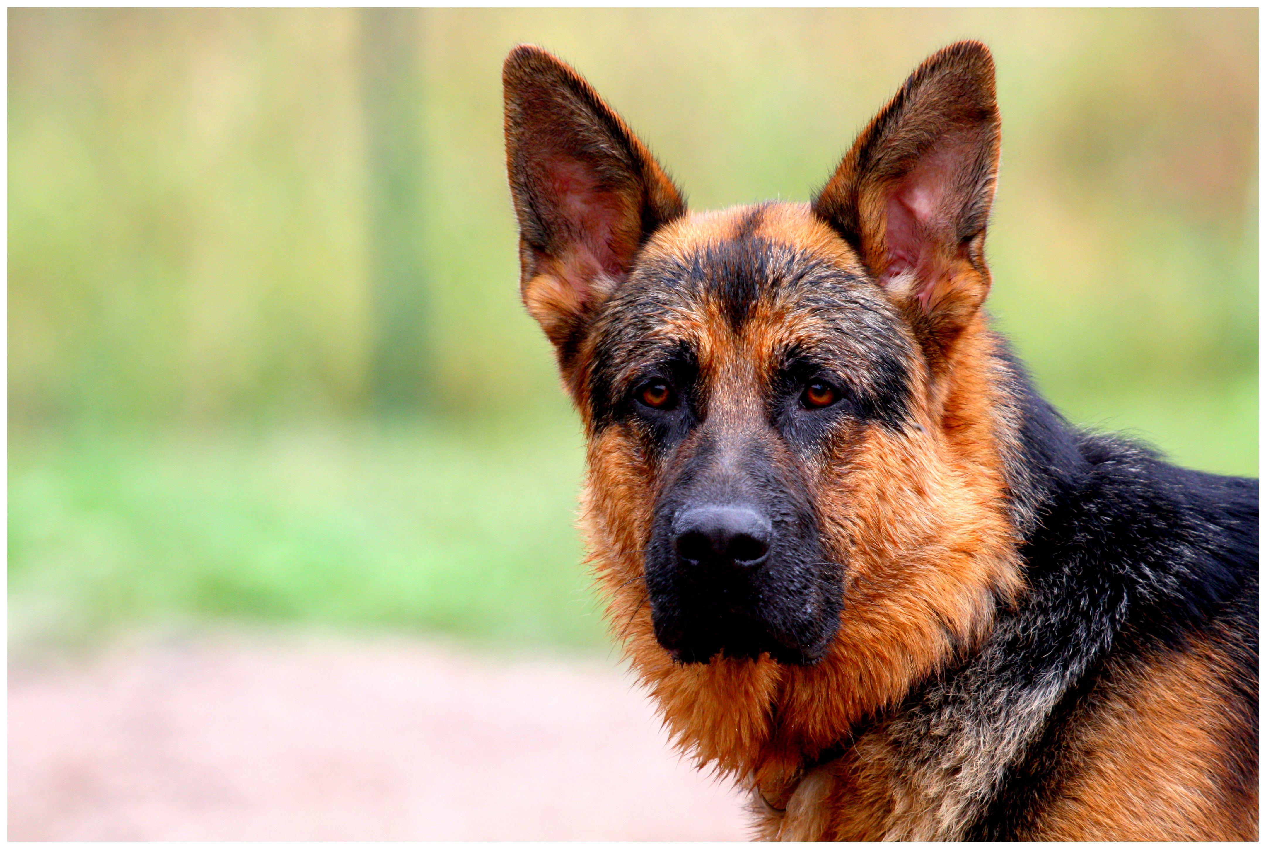 Deutscher Sch Ferhund