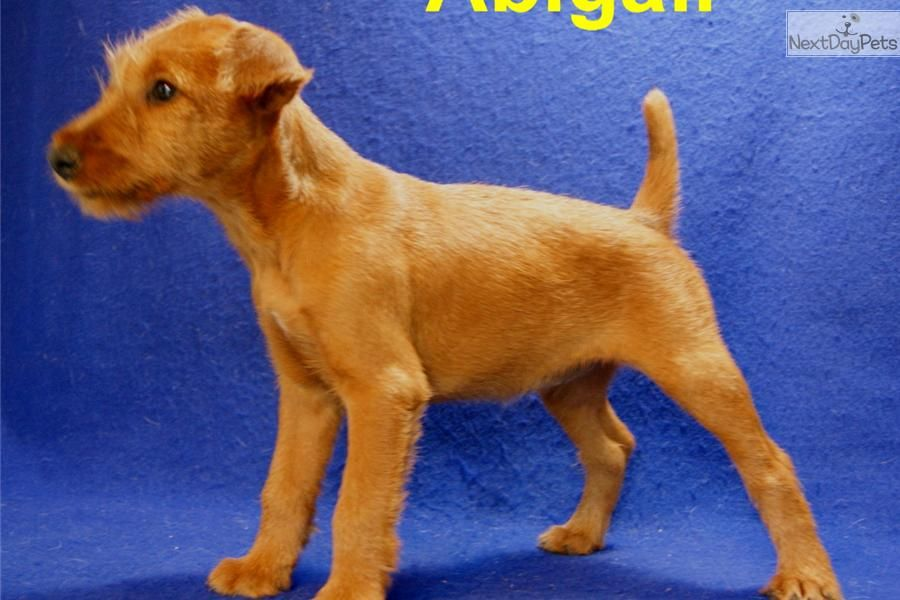 Meet Abigail A Cute Irish Terrier Puppy For Sale For 700 Irish Girl Abigail Akc Registered Irish Terrier Irish Terrier Puppies Terrier