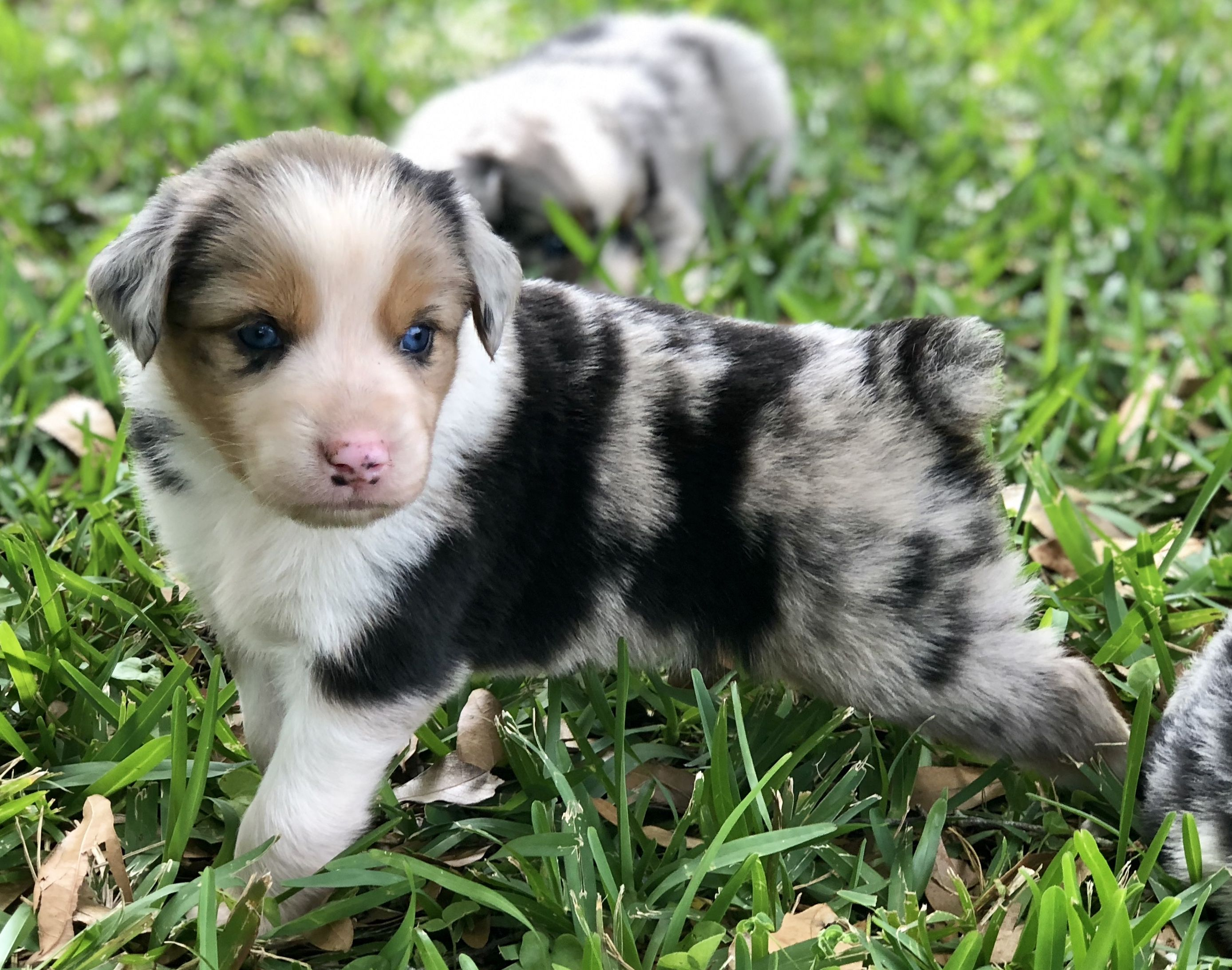 Pin By Abigail Faith On Puppies Aussie Puppies Puppies