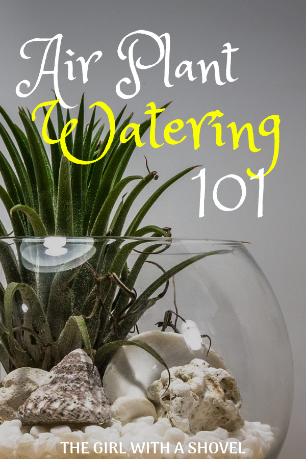 How to Water Air Plants Air plants, Plants, Hanging air