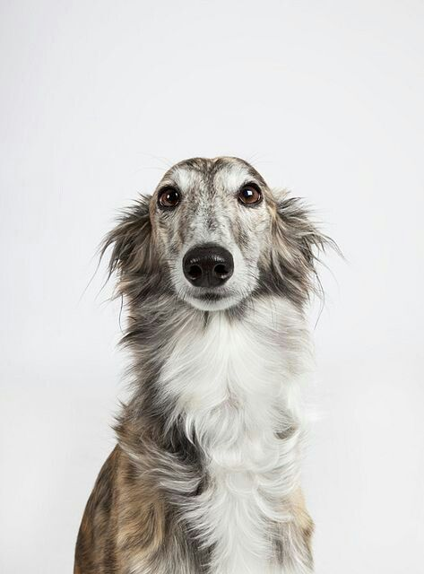 Longhaired Greyhound Dogs Pets Animals Beautiful