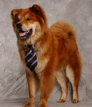 Half Chow Half Golden Retriever I Must Have This Dog Again One