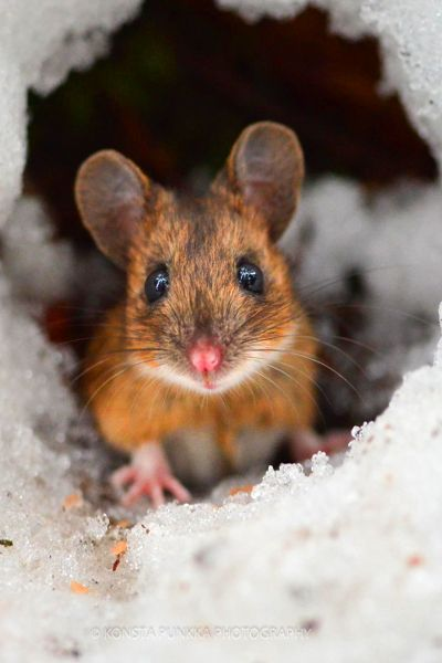 38 cute and tiny wild mice photos mouse photos mice and natural. Black Bedroom Furniture Sets. Home Design Ideas