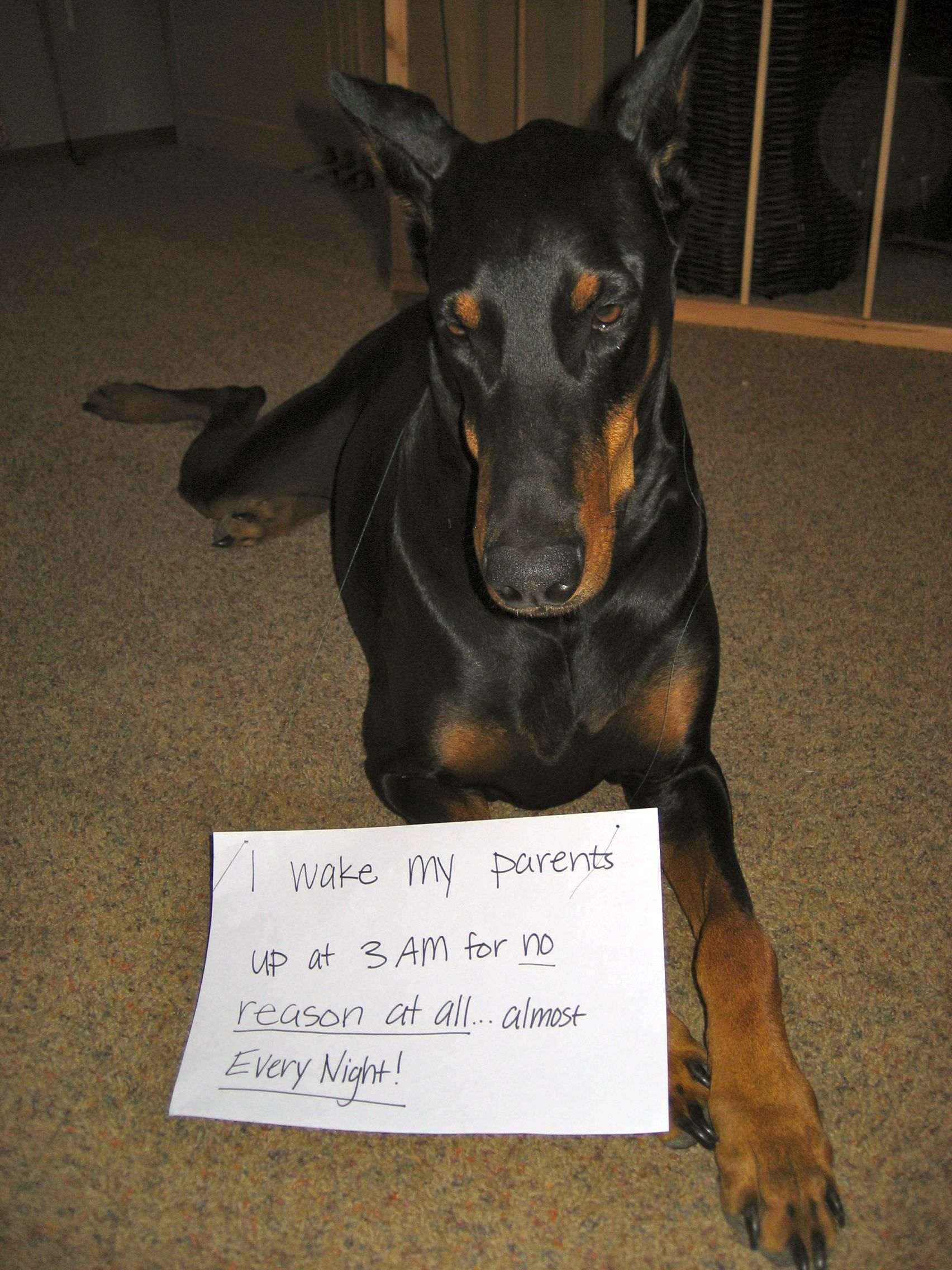 Doberman Pinscher Loyal And Fearless Doberman Doberman
