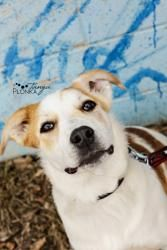 Rodeo is an #adoptable #German Shepherd Dog #Dog in #Calgary