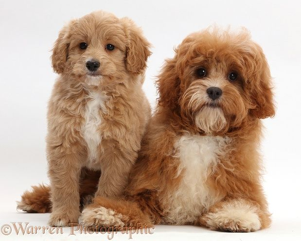 Puppy And Adult Cavapoos Cavapoo Cavapoo Dogs Puppies