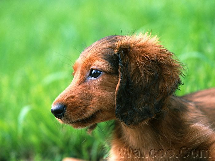 A Long Haired Miniature Dachshund Puppy Picture 15 Wallcoo Net Dachshund Puppy Miniature Dachshund Puppies Dachshund Puppy Long Haired