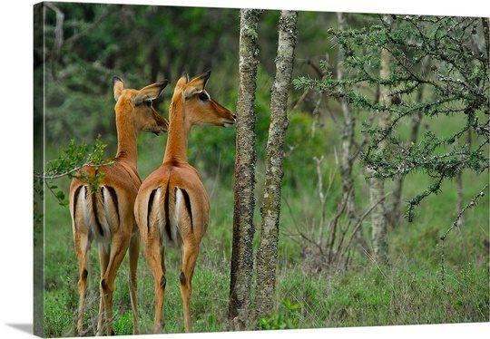 Impalas . Lake Nakuru