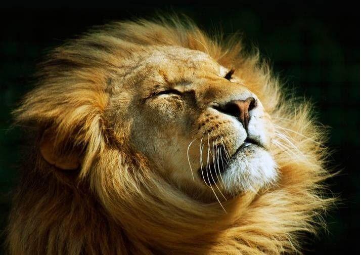 Lion - wild-animals Photo
