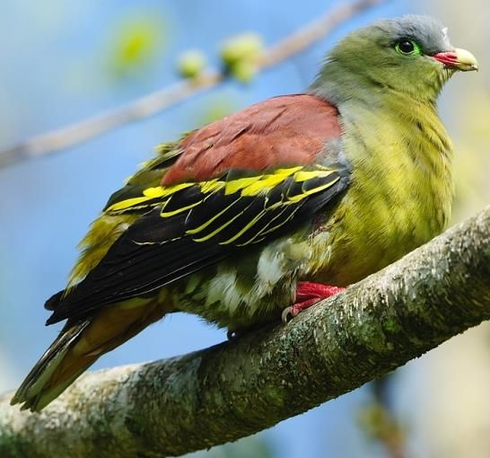 Thickbilled Green Pigeon male