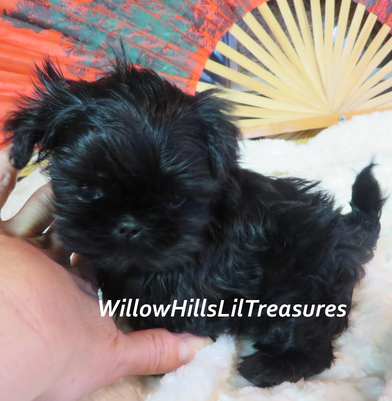 Willow Hills Lil Treasures Shih Tzu Puppy Cute Puppy Pictures Shih Tzu