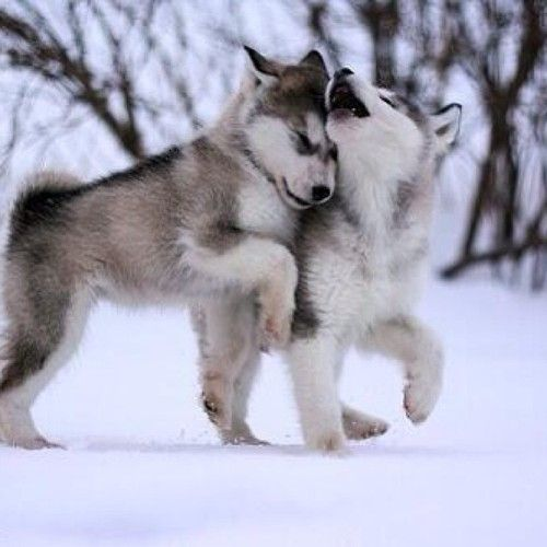 Cute wolf puppies