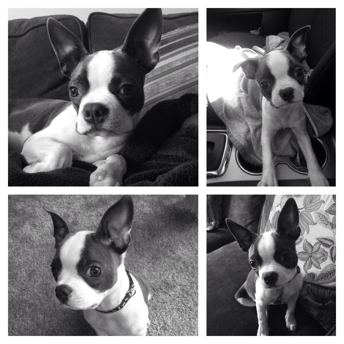 Many Faces Of Blue Boston Terrier Doggy Terrier