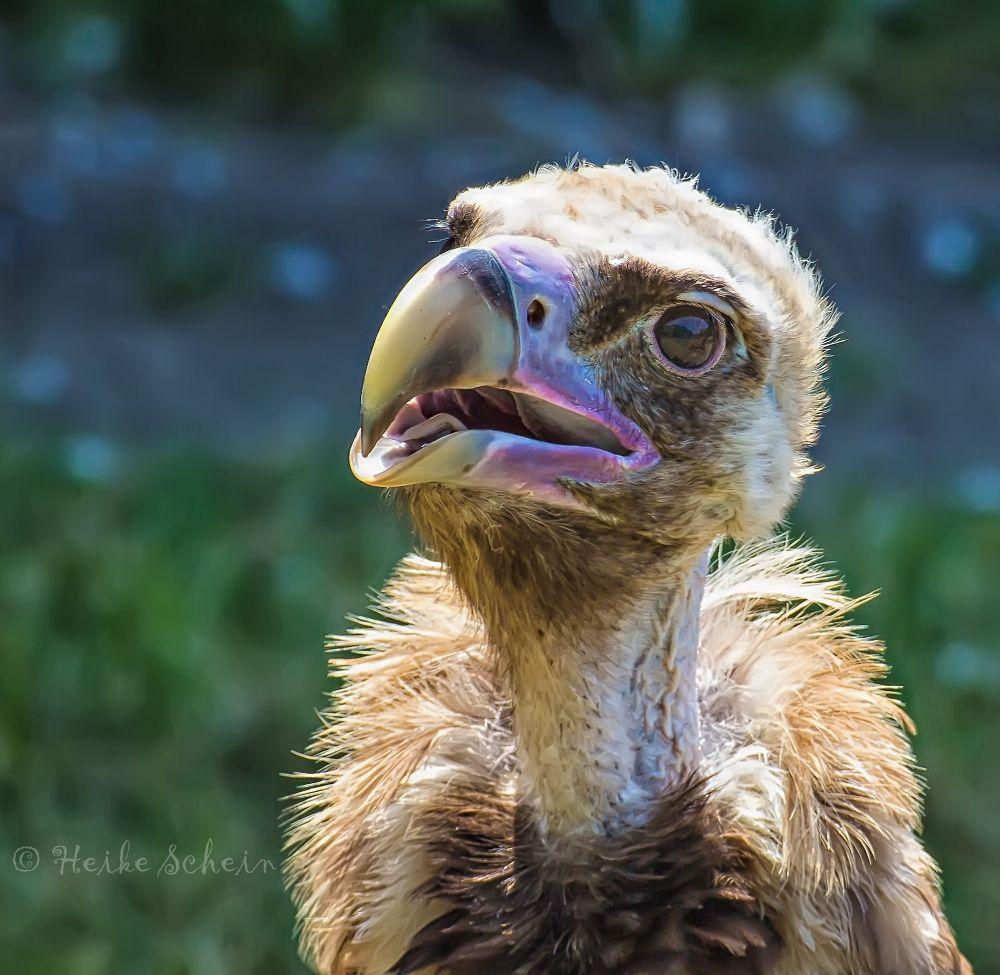 Vulture Second Version By Heikeschein Vulture Animals Photo