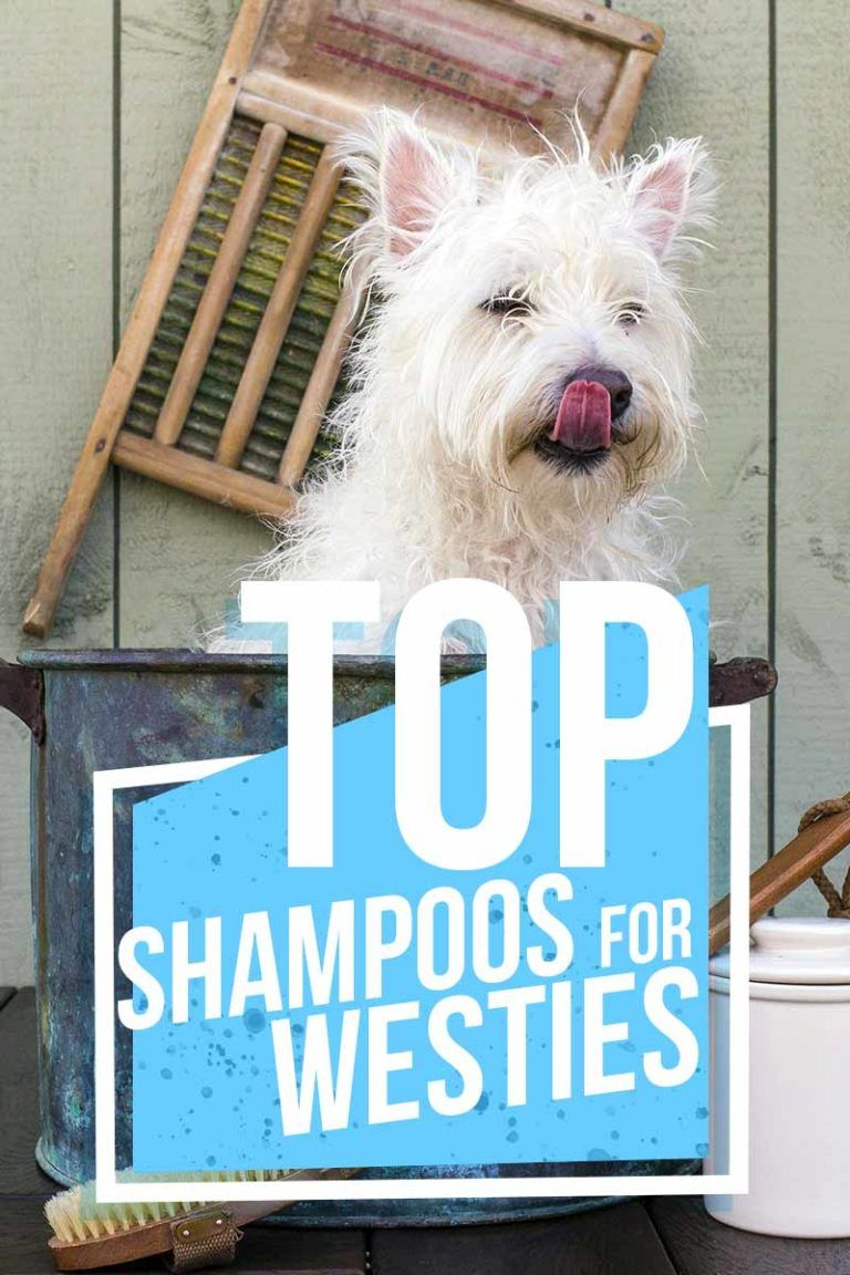 Find The Best Shampoo For Westies And Their Wonderful White Fur